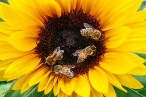 grafika wyrózniająca pszczoły na kwiatku